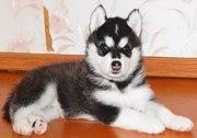 Продаются щенки породы Сибирский Хаски.