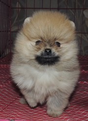 продам красивого померанского щенка