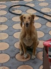 Пропала собака Тазы